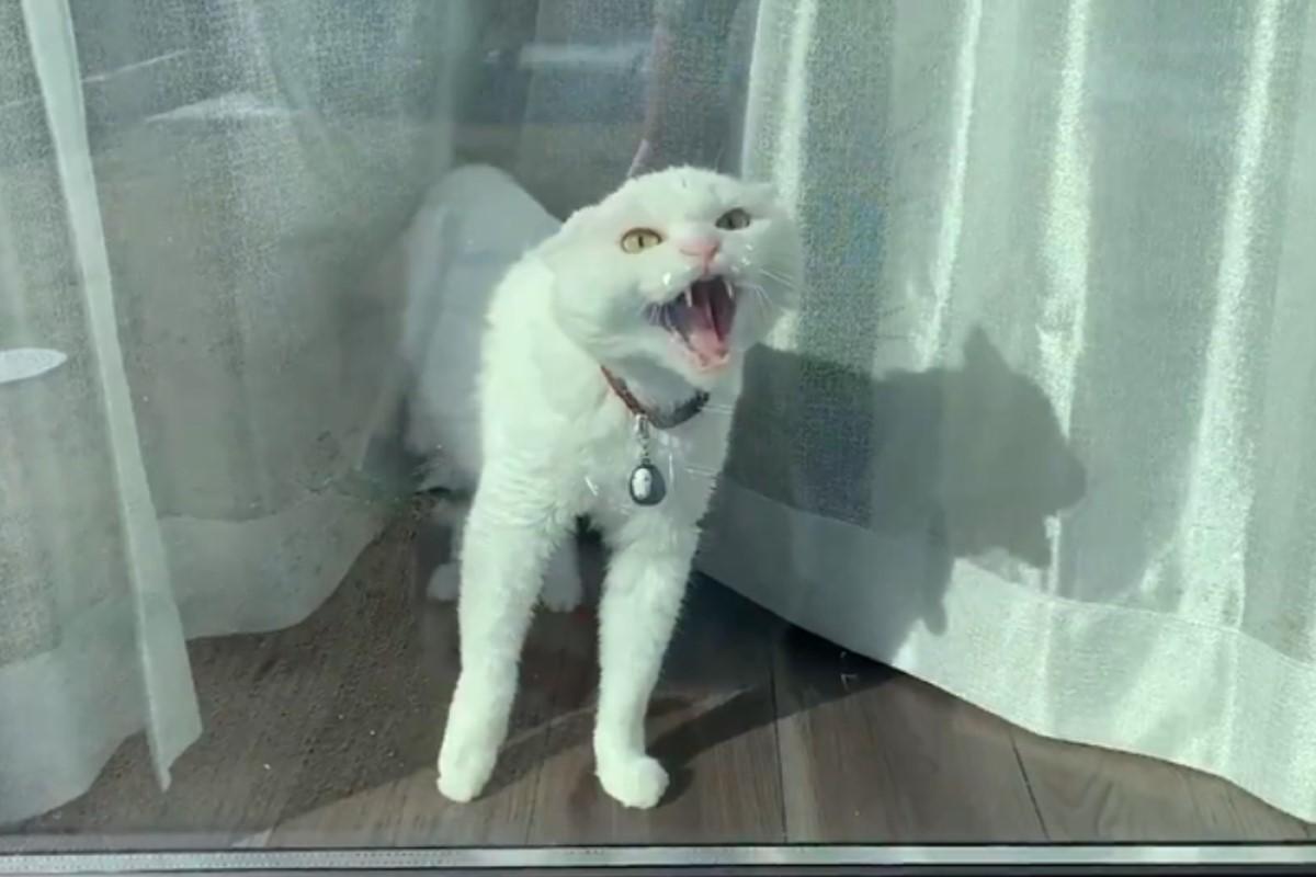 ▲日本一隻白貓被吵醒後,竟然起床氣大爆發!(圖/twitter帳號hakusama0906)