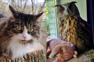 ▲原來這隻貓咪是「Murloc」,貓頭鷹叫做「Yollka」,牠們都是掌鏡女子妮卡飼養的寵物呢!(圖/tiktok帳號nika_zubra)