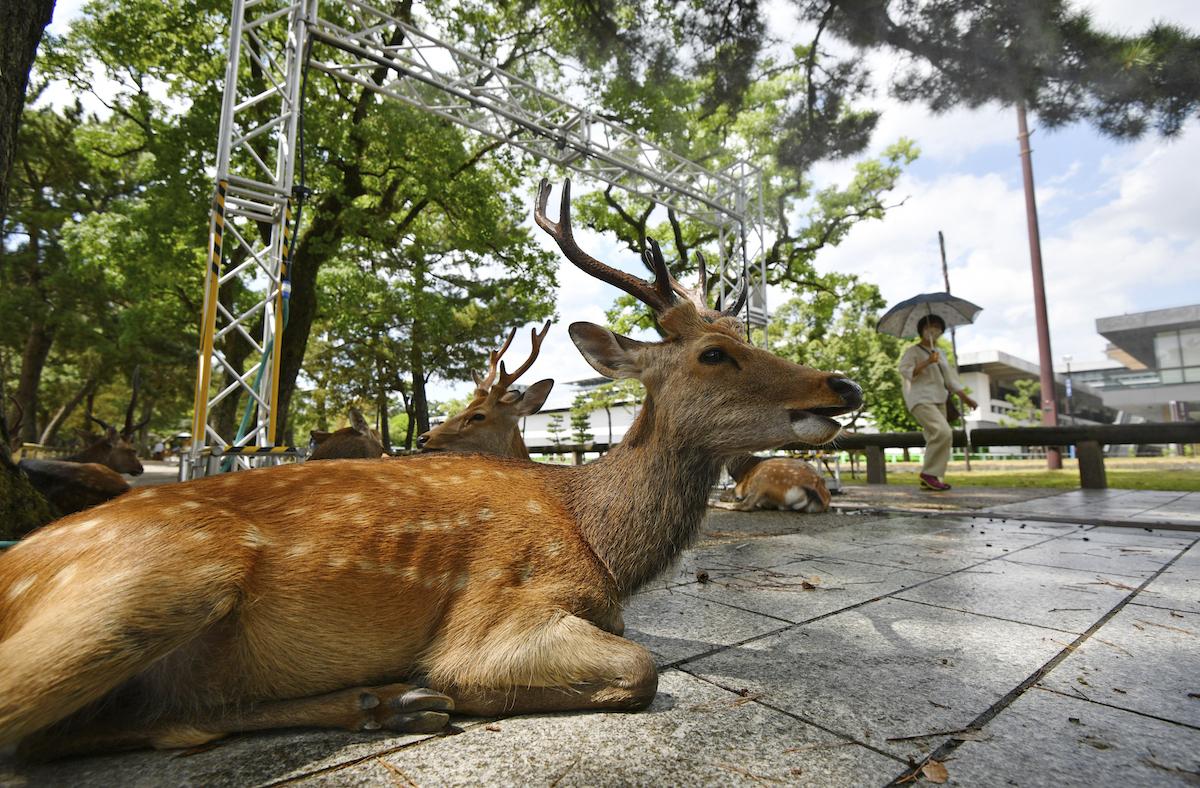 ▲日本昨天清晨發生一頭鹿闖入北海道新幹線軌道區內,JR北海道公司出動約20人、總計花了7個多小時才完成驅離,共造成12個班次停駛。(圖/美聯社/達志影像)