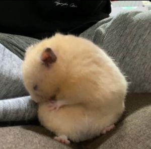 ▲小倉鼠原先在理屁股上的毛,理一理眼睛就閉了起來。(圖/Twitter帳號:hamusukehamumi)