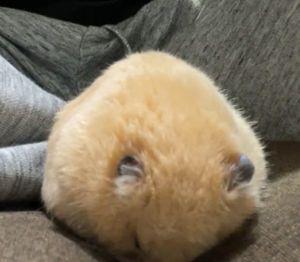 ▲過一會兒竟自己喬到舒服姿勢,捲成小包子大睡特睡。(圖/Twitter帳號:hamusukehamumi)