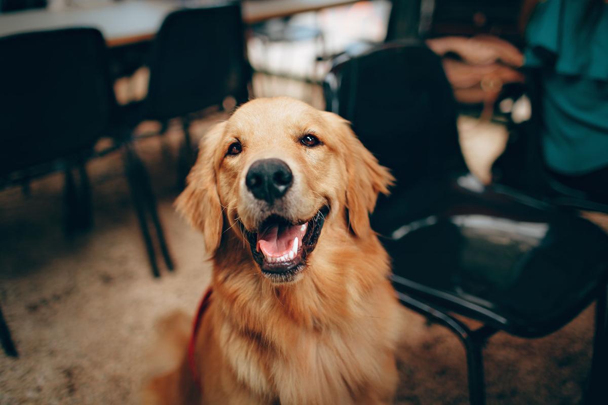 ▲狗狗是人類最忠實的朋友,當家裡的毛小孩老了,飼主的照顧與陪伴對牠們而言非常重要。(圖/pexels)
