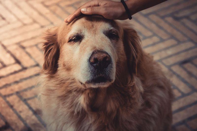 ▲老年的狗毛色漸漸變淺、白,行動漸漸時緩,聽力不如從前。(圖/pexels)