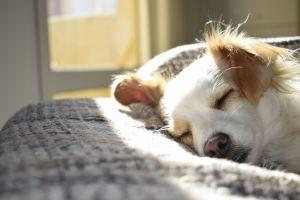 ▲給狗狗安靜、穩定的睡眠時間非常重要(圖/pexels)