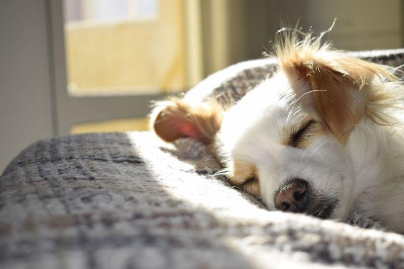 ▲給狗狗安靜、穩定的睡眠時間非常重要。(圖/pexels)