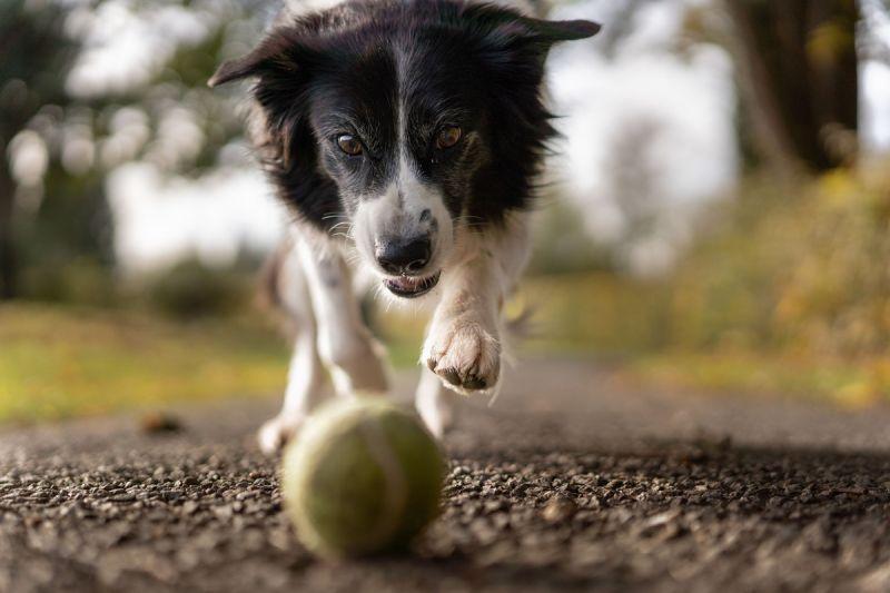 ▲老狗的體力不如從前,要適時調整運動的時間和力度。(圖/pexels)