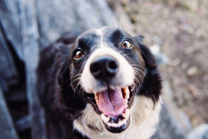 ▲口腔護理對每個年齡階段的狗來說都非常重要。(圖/pexels)