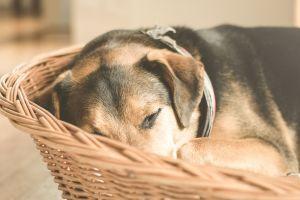 ▲給予狗狗舒適的小窩,讓牠能獲充分的休息(圖/pexels)