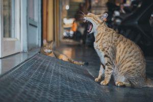 ▲虎斑貓:當麻豆好累喔,老闆快點放飯啦!(圖/IG@oulic.620授權提供)
