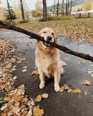 ▲佐伊是隻笑容可掬的黃金獵犬,但遇上那兩隻「大麻煩」後笑容即將慢慢消失。(圖/Instagram帳號:nico.jackson.zoey)