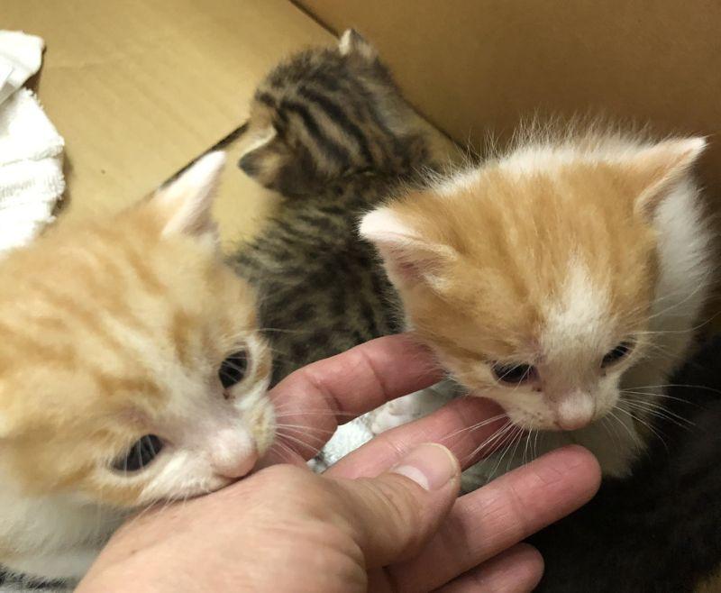▲網友家來了四隻楚楚可憐的小貓。(圖/Twitter帳號:pinkribbon0215)