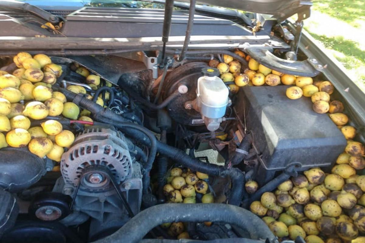 ▲美國一名車主打開愛車的引擎蓋,驚見裡面有滿滿的胡桃!(圖/FB帳號Bill Fischer)