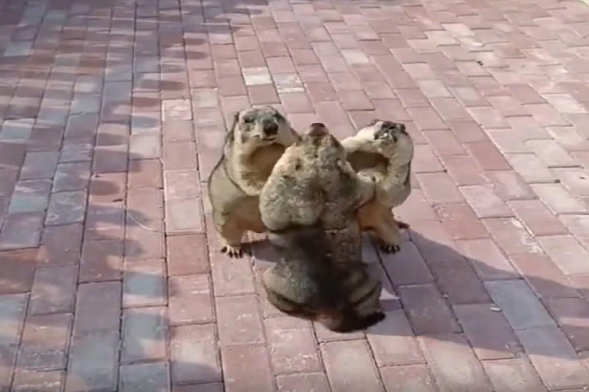 ▲網友分享3隻土撥鼠推擠吵架的影片引起熱議。(圖/tiktok帳號top_media5)