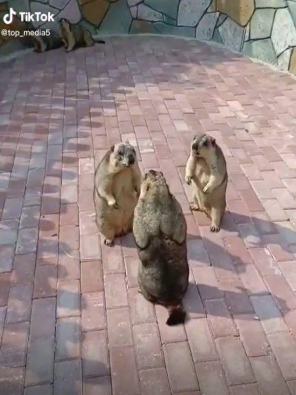 ▲日前3隻土撥鼠不知何故,聚在一起吵架。(圖/tiktok帳號top_media5)